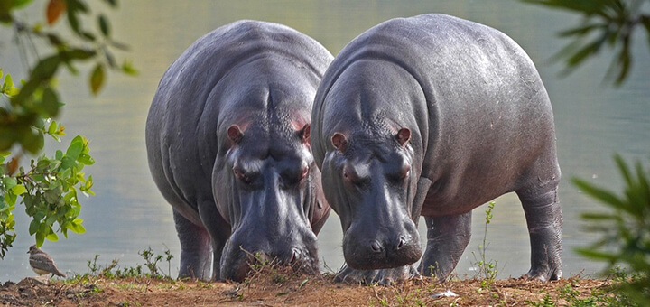 Surprising Facts About Hippo