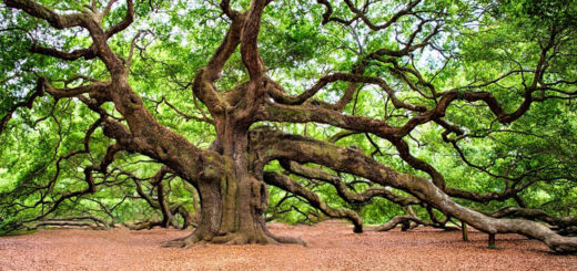 These are the oldest trees in the world